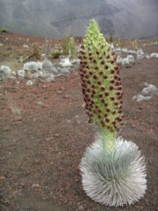 Haleakala Silversword in Full Bloom