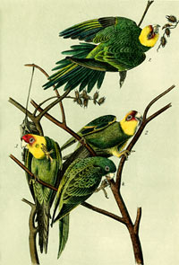 Green and Yellow Parakeet