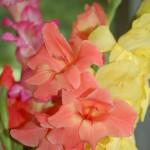 Gladiolus - Copy