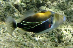 320px-Reef_Triggerfish