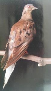 Martha the Last Passenger Pigeon